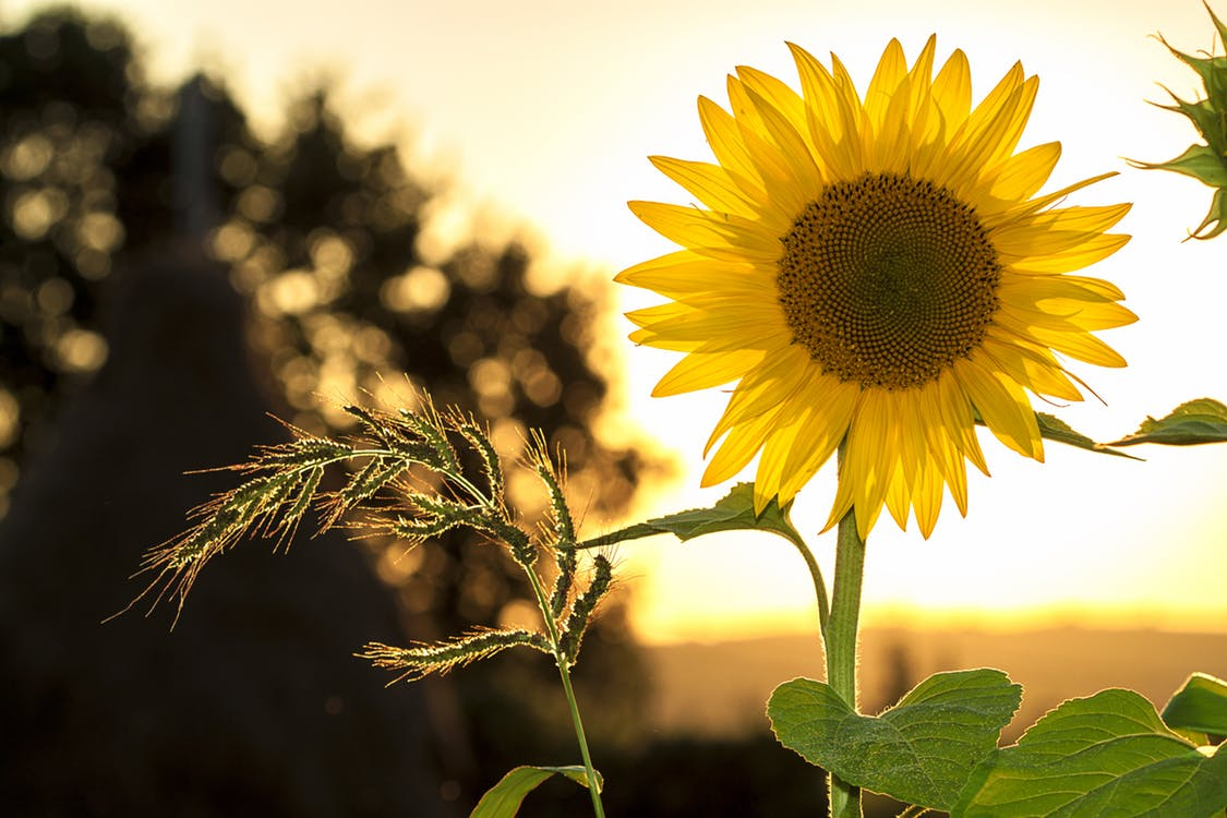Descriptive essay on sunflower